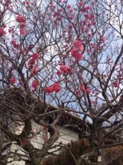 神野菜摘 公式ブログ/梅の花と楠(^o^) 画像1