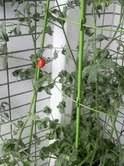 有宗麻莉子 公式ブログ/ミニトマトヒトリトマト 画像2