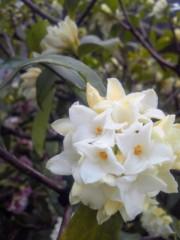 TERUJi / テルジヨシザワ 公式ブログ/沈丁花の水浴び 画像2