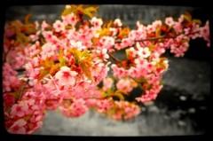 TERUJi / テルジヨシザワ 公式ブログ/白濁湯と桜前線 画像3