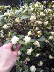 TERUJi / テルジヨシザワ 公式ブログ/沈丁花の水浴び 画像1