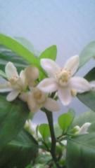 さとう珠緒 公式ブログ/みかんの花 画像2