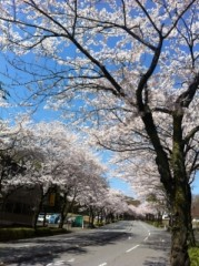 石井春花 公式ブログ/桜並木♪ 画像1