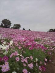石井春花 公式ブログ/秋桜☆ 画像1