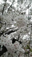 佐久間恵 公式ブログ/桜さん。 画像1