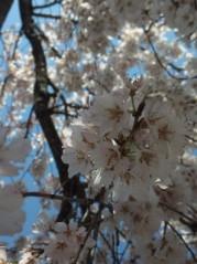相川イオ 公式ブログ/桜好きな人まぢ見て!! 画像2